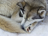 A Siberian Husky Sled Dog with Thick Fur Sleeping on the Snow and Ice Photographic Print by Jason Edwards