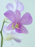 Close Up of a Purple Orchid in a Hotel Lobby Photographic Print by Paul Sutherland