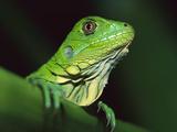 Green Iguana (Iguana Iguana) Portrait, Panama Photographic Print by Christian Ziegler/Minden Pictures