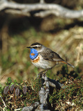 Bluethroat (Luscinia Svecica) Perching, Nome, Alaska Photographic Print by Tom Vezo/Minden Pictures