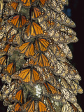 Monarch (Danaus Plexippus) Butterfly Cluster, Michoacan, Mexico Photographic Print by Thomas Marent/Minden Pictures
