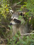Raccoon (Procyon Lotor) Individual, Florida Fotodruck von Tom Vezo/Minden Pictures