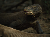Komodo Dragon, Varanus Komodoensis, Sensing with it's Tongue Photographic Print by Tim Laman