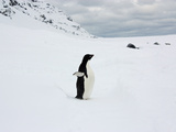 Adelie Penguin and Resting Weddell Seals in Fresh Snow Photographic Print by Steve And Donna O'Meara