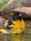 Baltimore Oriole (Icterus Galbula) Male Bathing, Rio Grande Valley, Texas Photographic Print by Tom Vezo/Minden Pictures