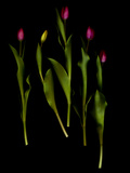 Tulips in a Group Photographic Print by Kenneth Ginn