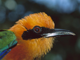 Broad-Billed Motmot (Electron Plathyrhynchum Minor) Portrait, Barro Colorado Island, Panama Photographic Print by Christian Ziegler/Minden Pictures