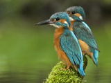 Adult Common Kingfisher Couple, Alcedo Atthis, on a Mossy Branch Papier Photo par Joe Petersburger