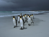 King Penguin (Aptenodytes Patagonicus) Group Walking Along Beach, Falkland Islands Photographic Print by Hiroya Minakuchi/Minden Pictures
