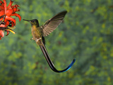 Violet-Tailed Sylph (Aglaiocercus Coelestis) Hummingbird Visiting Flower, Andes, Ecuador Fotografie-Druck von Tom Vezo/Minden Pictures