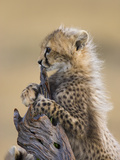 Cheetah (Acinonyx Jubatus) Six to Eight Week Old Cub, Maasai Mara Reserve, Kenya Photographic Print by Suzi Eszterhas/Minden Pictures