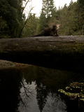 A Remote Camera Captures a Marten Crossing a Fallen Log Photographic Print by National Geographic Photographer