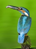An Adult Male Kingfisher, Alcedo Atthis, with a Fish in its Beak Photographie par Joe Petersburger