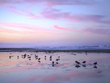 Shorebirds Foraging at Sunset, Pismo Beach, California Photographic Print by Tim Fitzharris/Minden Pictures
