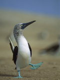 Blue-Footed Booby (Sula Nebouxii) Courtship Dance, Lobos De Tierra Island, Peru Photographic Print by Tui De Roy/Minden Pictures