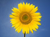 A Sunflower Against a Blue Sky Photographic Print by Joe Petersburger
