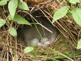 Eggs Hide in a Ground Birds Nest Photographic Print by  Greg