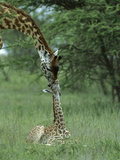 Giraffe (Giraffa Camelopardalis) Newborn Calf and Mother, Ngorongoro Conservation Area, Tanzania Fotografisk tryk af Suzi Eszterhas/Minden Pictures