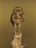 Burrowing Owl (Athene Cunicularia) Perched on Stump, Los Llanos, Venezuela Photographic Print by Thomas Marent/Minden Pictures