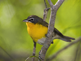 Yellow-Breasted Chat (Icteria Virens) Rio Grande Valley, Texas Fotografie-Druck von Tom Vezo/Minden Pictures