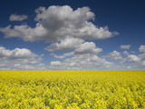 A Field of Rapeseed, Brassica Napus Photographic Print by Joe Petersburger