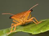 Stink Bug (Edessa Sp.) Portrait, a True Bug of the Heteroptera Suborder, Guanacaste, Costa Rica Photographic Print by Ingo Arndt/Minden Pictures