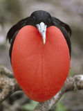 Great Frigatebird (Fregata Minor) Male with Inflated Gular Pouch, Tower Island, Galapagos Islands Photographic Print by Tui De Roy/Minden Pictures