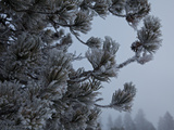 A Snow Covered Evergreen Tree in Upper Geyser Basin Photographic Print by Mark Thiessen