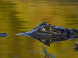 Spectacled Caiman (Caiman Crocodilus) Floating in Water, Pantanal, Brazil Photographic Print by Suzi Eszterhas/Minden Pictures