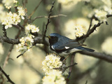 Black-Throated Blue Warbler (Dendroica Caerulescens) in Beach Plum Tree, Long Island, New York Fotografie-Druck von Tom Vezo/Minden Pictures