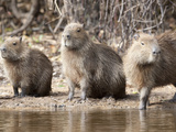Group of Capybaras, Hydrochaeridae Hydrochoeris, Sitting on the Shore Photographic Print by Roy Toft