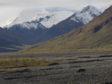 Grizzly Bear Adult (Ursus Arctos) in Toklat River Valley, Denali, Alaska Photographic Print by Michael S. Quinton
