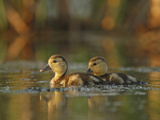 Ring-Necked Duck (Aythya Collaris) Chicks, Belleisle Marsh, Annapolis Valley, Nova Scotia, Canada Photographic Print by Scott Leslie/Minden Pictures