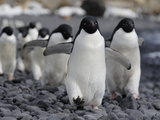 Adelie Penguin (Pygoscelis Adeliae) Group Marching to Colony, Antarctic Peninsula, Antarctica Photographic Print by Hiroya Minakuchi/Minden Pictures
