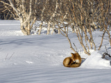Red Fox (Vulpes Vulpes) Sleeping, Kamchatka, Russia Photographic Print by Sergey Gorshkov/Minden Pictures