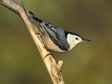 White-Breasted Nuthatch (Sitta Carolinensis) Long Island, New York Reproduction photographique par Tom Vezo/Minden Pictures