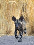 African Wild Dog (Lycaon Pictus) Six to Eight Week Old Pup Running, Okavango Delta, Botswana Fotografie-Druck von Suzi Eszterhas/Minden Pictures