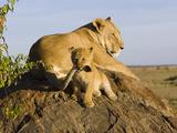 African Lion (Panthera Leo) Cub Playing with its Mother's Tail, Masai Mara Nat'l Reserve, Kenya Fotografisk tryk af Suzi Eszterhas/Minden Pictures