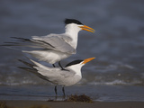 Royal Tern (Sterna Maxima) Pair in Courtship Display, Rio Grande Valley, Texas Photographic Print by Tom Vezo/Minden Pictures