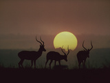 Impala (Aepyceros Melampus) Bucks at Sunset, Kenya (Digital Composite) Photographic Print by Tim Fitzharris/Minden Pictures