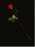 A Single Red Rose Against a Black Background Photographic Print by Kenneth Ginn