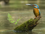 Adult Male Common Kingfisher, Alcedo Atthis, Holds a Topmouth Gudgeon Reproduction photographique par Joe Petersburger