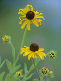 Blackeyed Susan (Rudbeckia Hirta) Pair Blooming, North America Photographic Print by Tim Fitzharris/Minden Pictures
