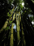 Bamboo Growing in a Rainforest Photographic Print by Raul Touzon