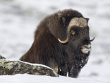 Muskox (Ovibos Moschatus) Showing Thick Insulating Coat, Norway Photographic Print by Ingo Arndt/Minden Pictures