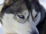 The Wolf-Like Stare of a Siberian Husky Sled Dog with Very Blue Eyes Photographic Print by Jason Edwards