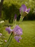 Bearded Iris after a Spring Rain Shower Photographic Print by Kenneth Ginn