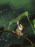 Red-Eyed Tree Frog (Agalychnis Callidryas) in Rain, Native to Central and South America Fotografisk tryk af Michael Durham/Minden Pictures