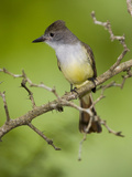 Brown-Crested Flycatcher (Myiarchus Tyrannulus) Rio Grande Valley, Texas Fotografie-Druck von Tom Vezo/Minden Pictures