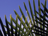 A Windmill Pine, Trachycarpus Fortunei, Against a Blue Sky Photographic Print by Paul Daimien